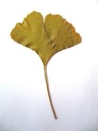 Een blad van de Ginkgo biloba